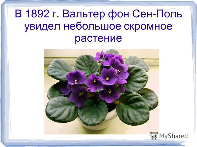 В 1892 г. Вальтер фон Сен-Поль увидел небольшое скромное растение