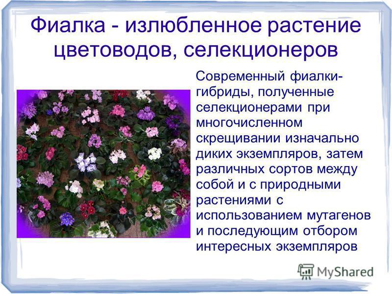 Фиалка - излюбленное растение цветоводов, селекционеров Современный фиалки- гибриды, полученные селекционерами при многочисленном скрещивании изначально диких экземпляров, затем различных сортов между собой и с природными растениями с использованием