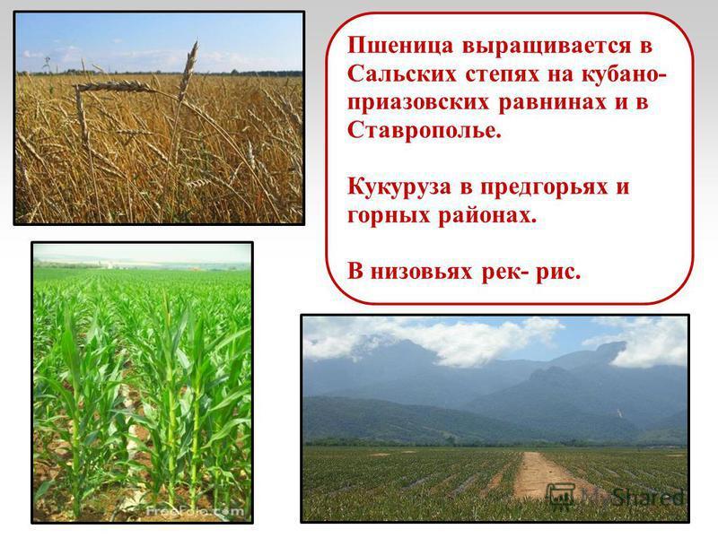 Пшеница выращивается в Сальских степях на кубано- приазовских равнинах и в Ставрополье. Кукуруза в предгорьях и горных районах. В низовьях рек- рис.