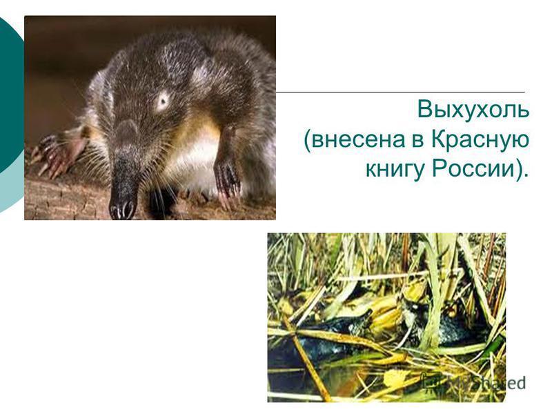 Выхухоль (внесена в Красную книгу России).