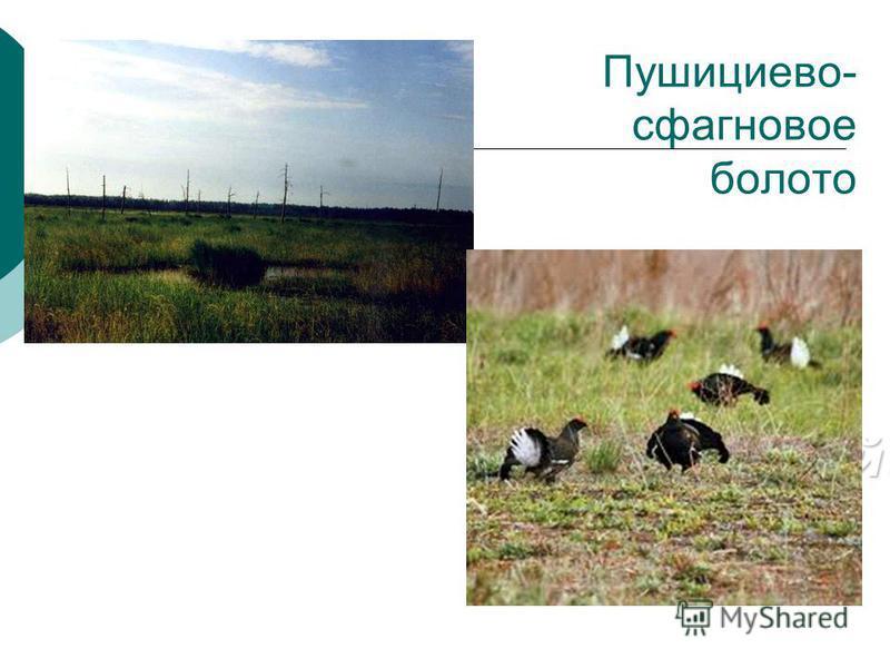 Пушициево- сфагновое болото Заповедник «Керженский» «Керженский»