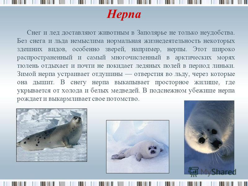 Нерпа Снег и лед доставляют животным в Заполярье не только неудобства. Без снега и льда немыслима нормальная жизнедеятельность некоторых здешних видов, особенно зверей, например, нерпы. Этот широко распространенный и самый многочисленный в арктически