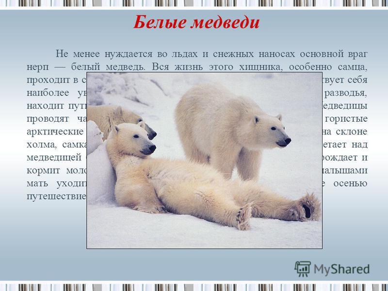Белые медведи Не менее нуждается во льдах и снежных наносах основной враг нерп белый медведь. Вся жизнь этого хищника, особенно самца, проходит в скитаниях по ледяным полям. Среди льдов он чувствует себя наиболее уверенно, легко преодолевает вплавь ш
