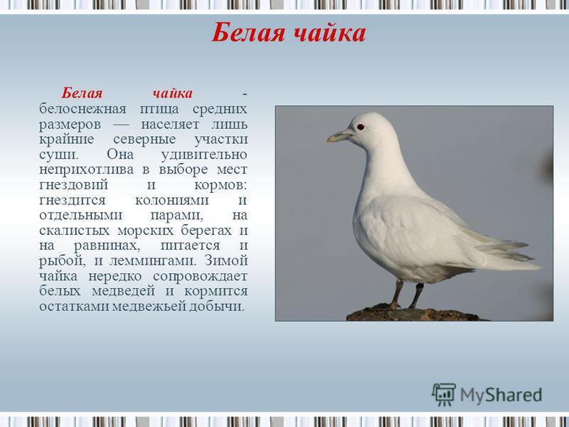 Белая чайка Белая чайка - белоснежная птица средних размеров населяет лишь крайние северные участки суши. Она удивительно неприхотлива в выборе мест гнездовий и кормов: гнездится колониями и отдельными парами, на скалистых морских берегах и на равнин