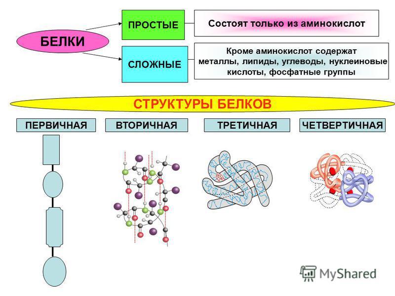 БЕЛКИ ПРОСТЫЕ СЛОЖНЫЕ Состоят только из аминокислот Кроме аминокислот содержат металлы, липиды, углеводы, нуклеиновые кислоты, фосфатные группы СТРУКТУРЫ БЕЛКОВ ПЕРВИЧНАЯВТОРИЧНАЯТРЕТИЧНАЯЧЕТВЕРТИЧНАЯ