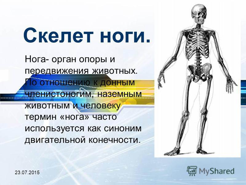 23.07.2015 Скелет ноги. Нога- орган опоры и передвижения животных. По отношению к донным членистоногим, наземным животным и человеку термин «нога» часто используется как синоним двигательной конечности.