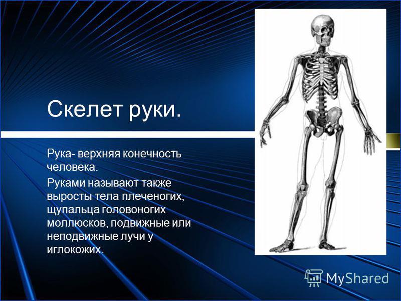 Скелет руки. Рука- верхняя конечность человека. Руками называют также выросты тела плеченогих, щупальца головоногих моллюсков, подвижные или неподвижные лучи у иглокожих.