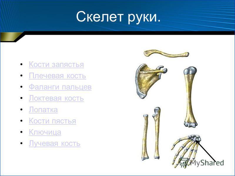 Скелет руки. Кости запястья Плечевая кость Фаланги пальцев Локтевая кость Лопатка Кости пястья Ключица Лучевая кость