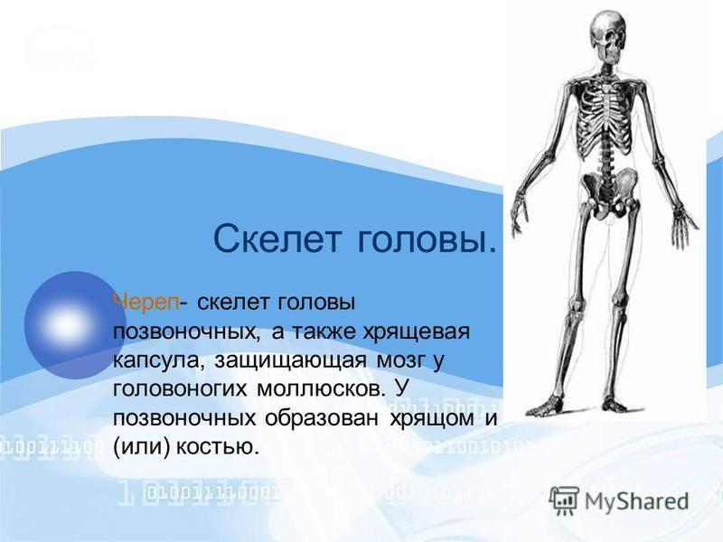 Скелет головы. Череп- скелет головы позвоночных, а также хрящевая капсула, защищающая мозг у головоногих моллюсков. У позвоночных образован хрящом и (или) костью.