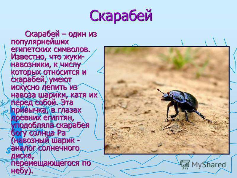 Скарабей Скарабей – один из популярнейших египетских символов. Известно, что жуки- навозники, к числу которых относится и скарабей, умеют искусно лепить из навоза шарики, катя их перед собой. Эта привычка, в глазах древних египтян, уподобляла скарабе