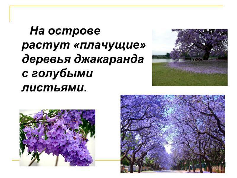На острове растут «плачущие» деревья джакаранда с голубыми листьями.