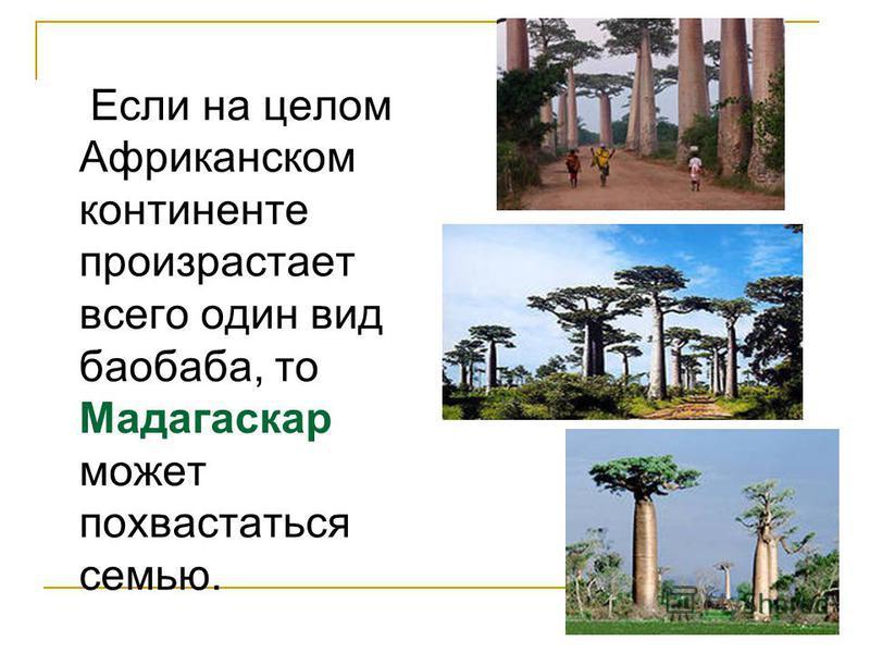 Если на целом Африканском континенте произрастает всего один вид баобаба, то Мадагаскар может похвастаться семью.