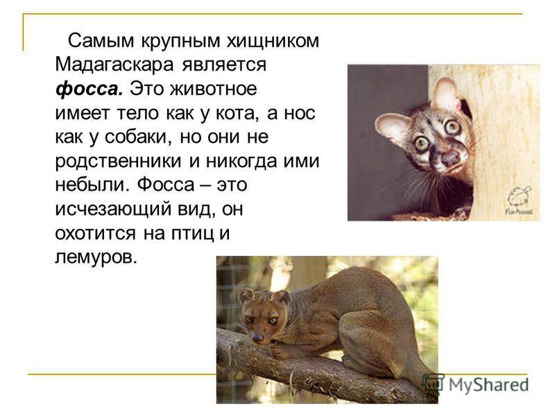 Самым крупным хищником Мадагаскара является фосса. Это животное имеет тело как у кота, а нос как у собаки, но они не родственники и никогда ими небыли. Фосса – это исчезающий вид, он охотится на птиц и лемуров.