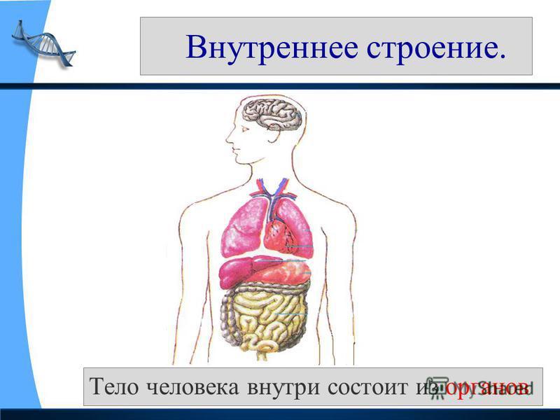 Внутреннее строение. Тело человека внутри состоит из органов