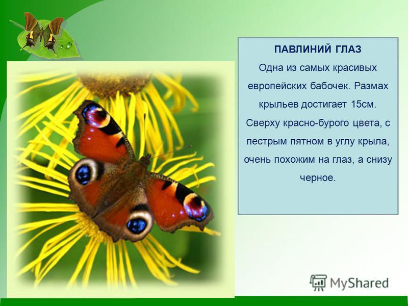 ПАВЛИНИЙ ГЛАЗ Одна из самых красивых европейских бабочек. Размах крыльев достигает 15 см. Сверху красно-бурого цвета, с пестрым пятном в углу крыла, очень похожим на глаз, а снизу черное.