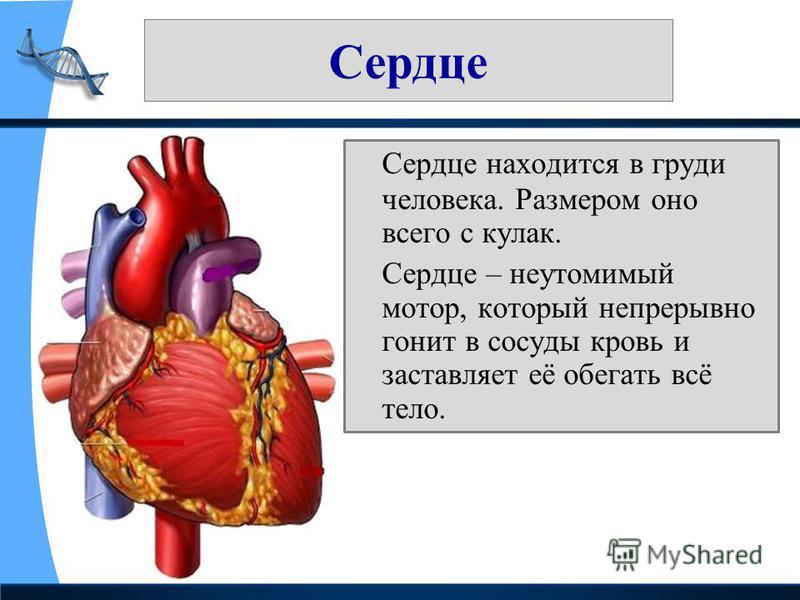 Сердце Сердце находится в груди человека. Размером оно всего с кулак. Сердце – неутомимый мотор, который непрерывно гонит в сосуды кровь и заставляет её обегать всё тело.