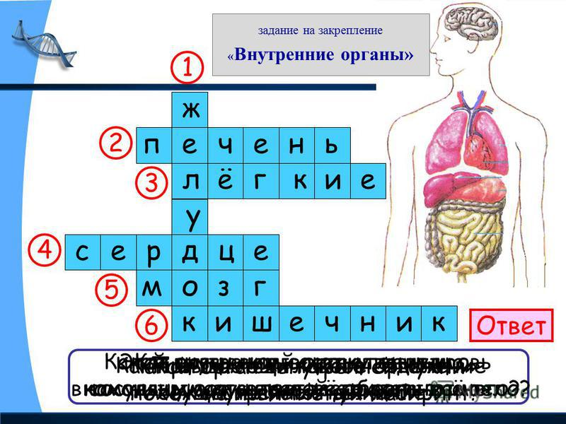 задание на закрепление « Внутренние органы» Ответ Как называется главное отделение «внутренней кухни»? ж е л у д о к Как называют соседку желудка, находящуюся с правой стороны от него? печень При помощи какого органа осуществляется дыхание? 1 2 3 4 5