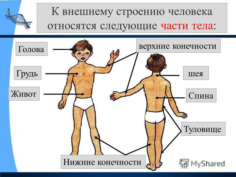 К внешнему строению человека относятся следующие части тела: Голова Туловище шея верхние конечности Нижние конечности Грудь Живот Спина