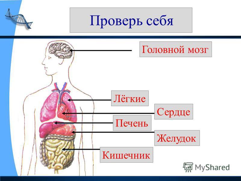 Проверь себя Головной мозг Лёгкие Сердце Печень Желудок Ккишечник