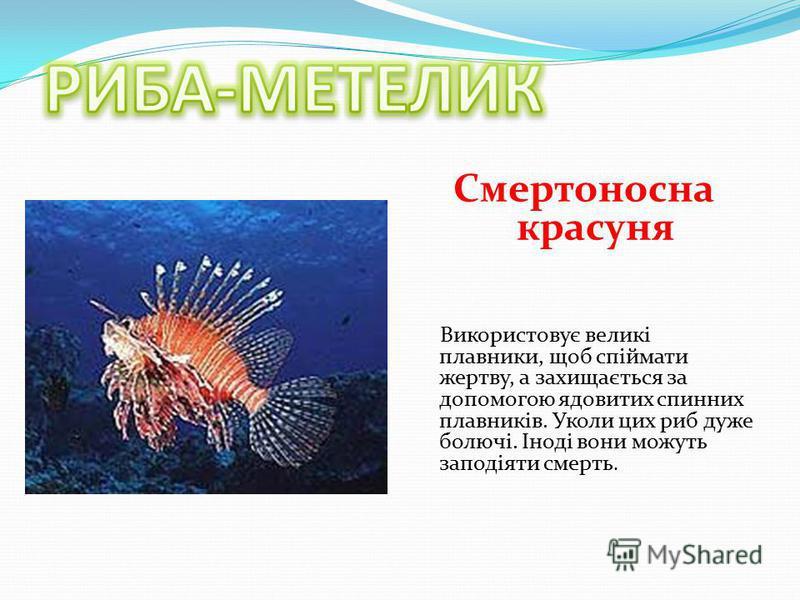Смертоносна красуня Використовує великі плавники, щоб спіймати жертву, а захищається за допомогою ядовитих спинних плавників. Уколи цих риб дуже болючі. Іноді вони можуть заподіяти смерть.