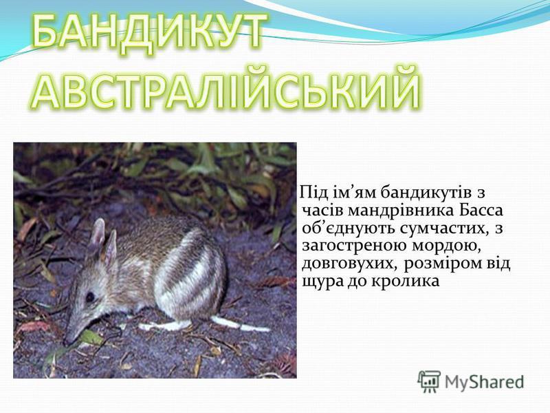 Під імям бандикутів з часів мандрівника Басса обєднують сумчастих, з загостреною мордою, довговухих, розміром від щура до кролика