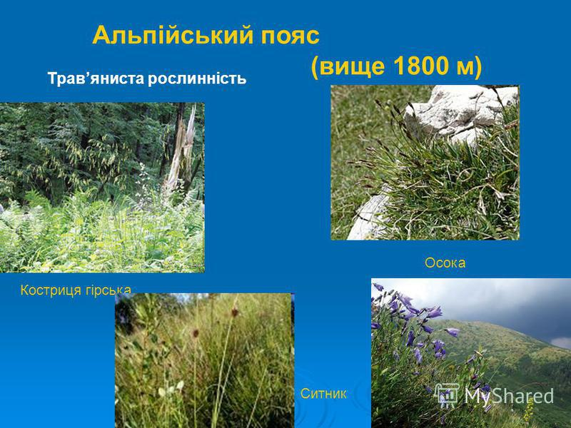Альпійський пояс (вище 1800 м) Костриця гірська Осока Ситник Травяниста рослинність