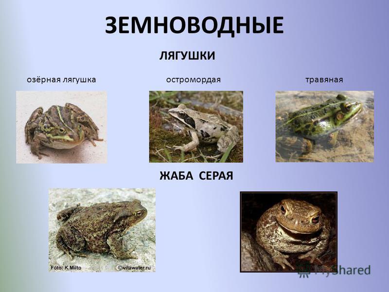 ЗЕМНОВОДНЫЕ озёрная лягушка ЛЯГУШКИ травяная ЖАБА СЕРАЯ остромордая