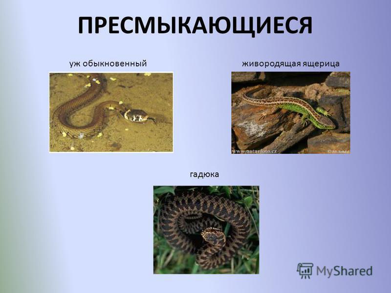 ПРЕСМЫКАЮЩИЕСЯ уж обыкновенный живородящая ящерица гадюка