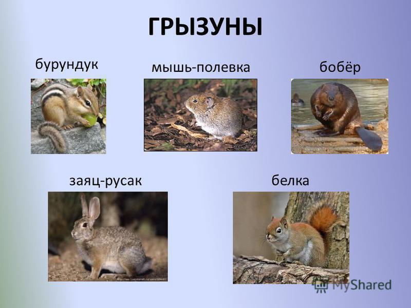 ГРЫЗУНЫ бурундук мышь-полевка бобёр заяц-русак белка