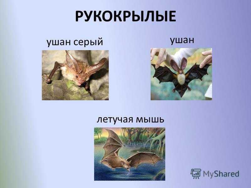 РУКОКРЫЛЫЕ ушан серый ушан летучая мышь