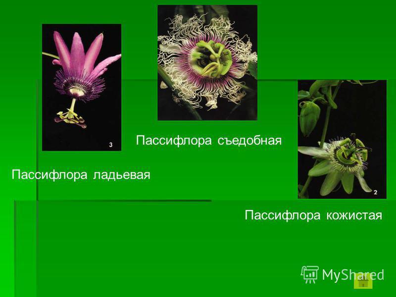 Пассифлора ладьевая Пассифлора съедобная Пассифлора кожистая