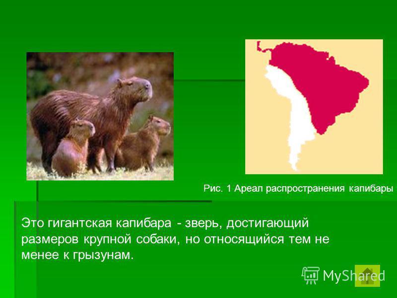 Это гигантская капибара - зверь, достигающий размеров крупной собаки, но относящийся тем не менее к грызунам. Рис. 1 Ареал распространения капибары