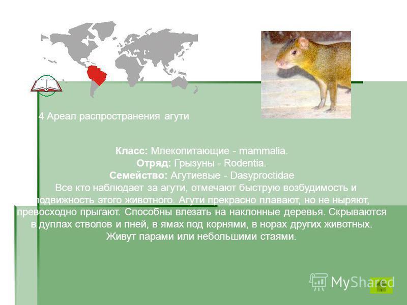 Класс: Млекопитающие - mammalia. Отряд: Грызуны - Rodentia. Семейство: Агутиевые - Dasyproctidae Все кто наблюдает за агути, отмечают быструю возбудимость и подвижность этого животного. Агути прекрасно плавают, но не ныряют, превосходно прыгают. Спос