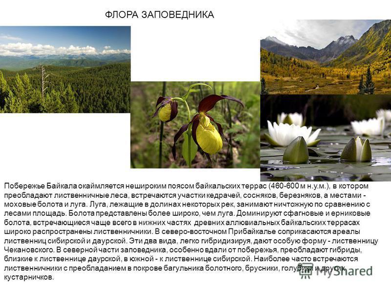 ФЛОРА ЗАПОВЕДНИКА Побережье Байкала окаймляется нешироким поясом байкальских террас (460-600 м н.у.м.), в котором преобладают лиственничные леса, встречаются участки кедрачей, сосняков, березняков, а местами - моховые болота и луга. Луга, лежащие в д