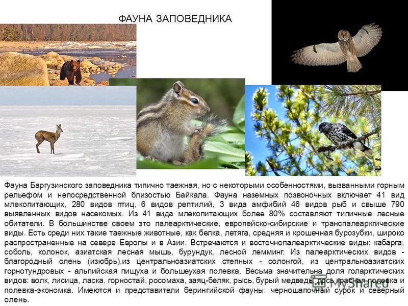 ФАУНА ЗАПОВЕДНИКА Фауна Баргузинского заповедника типично таежная, но с некоторыми особенностями, вызванными горным рельефом и непосредственной близостью Байкала. Фауна наземных позвоночных включает 41 вид млекопитающих, 280 видов птиц, 6 видов репти