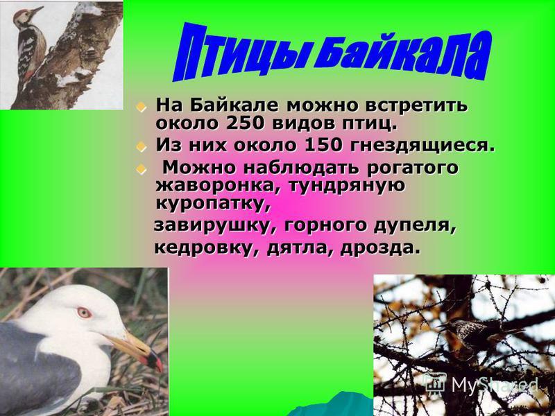 . Животный и растительный мир Байкала В Байкале водится более 2600 видов и разновидностей животных. Более 1000 видов растительных организмов. В Встречается морское млекопитающее – байкальская нерпа.