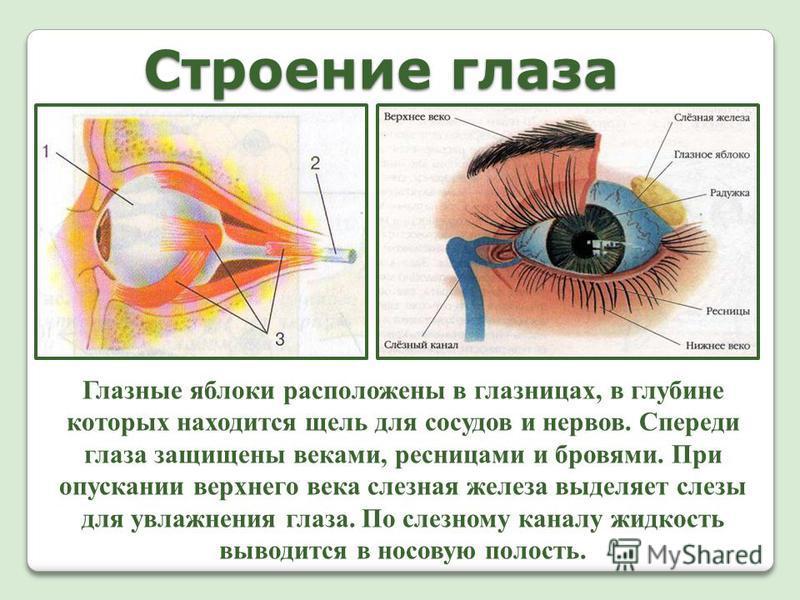 Строение глаза Глазные яблоки расположены в глазницах, в глубине которых находится щель для сосудов и нервов. Спереди глаза защищены веками, ресницами и бровями. При опускании верхнего века слезная железа выделяет слезы для увлажнения глаза. По слезн