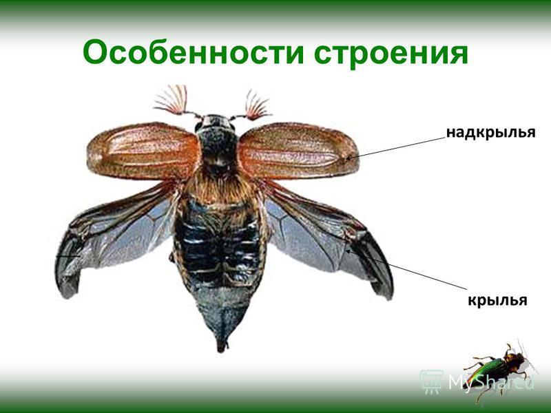 Особенности строения надкрылья крылья