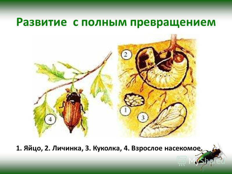 Развитие с полным превращением 1. Яйцо, 2. Личинка, 3. Куколка, 4. Взрослое насекомое.