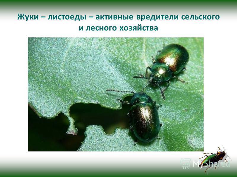 Жуки – листоеды – активные вредители сельского и лесного хозяйства