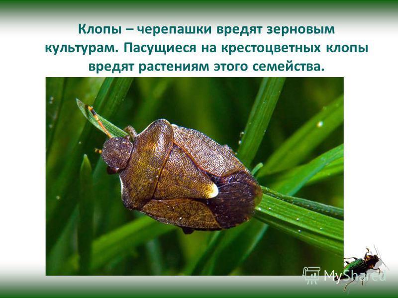 Клопы – черепашки вредят зерновым культурам. Пасущиеся на крестоцветных клопы вредят растениям этого семейства.