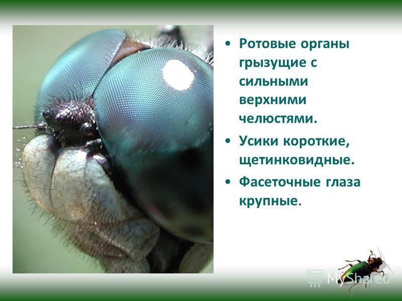 Ротовые органы грызущие с сильными верхними челюстями. Усики короткие, щетинковидные. Фасеточные глаза крупные.
