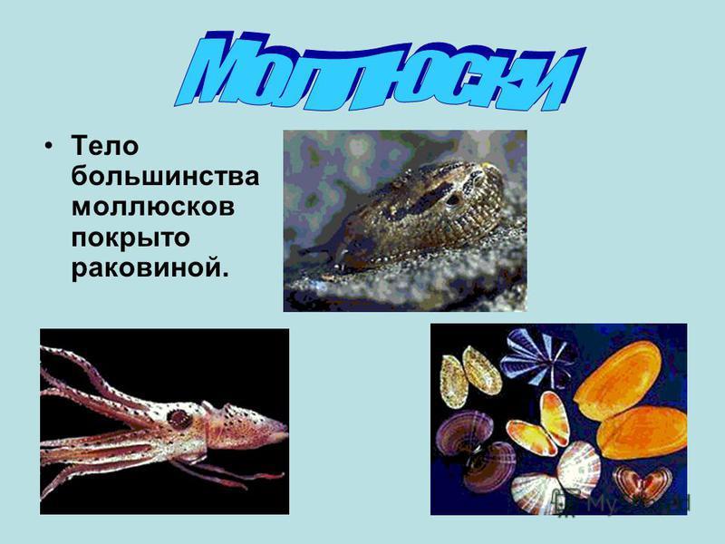 Тело большинства моллюсков покрыто раковиной.