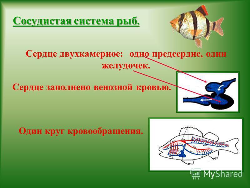 Сосудистая система рыб. Сердце двухкамерное: одно предсердие, один желудочек. Сердце заполнено венозной кровью. Один круг кровообращения.