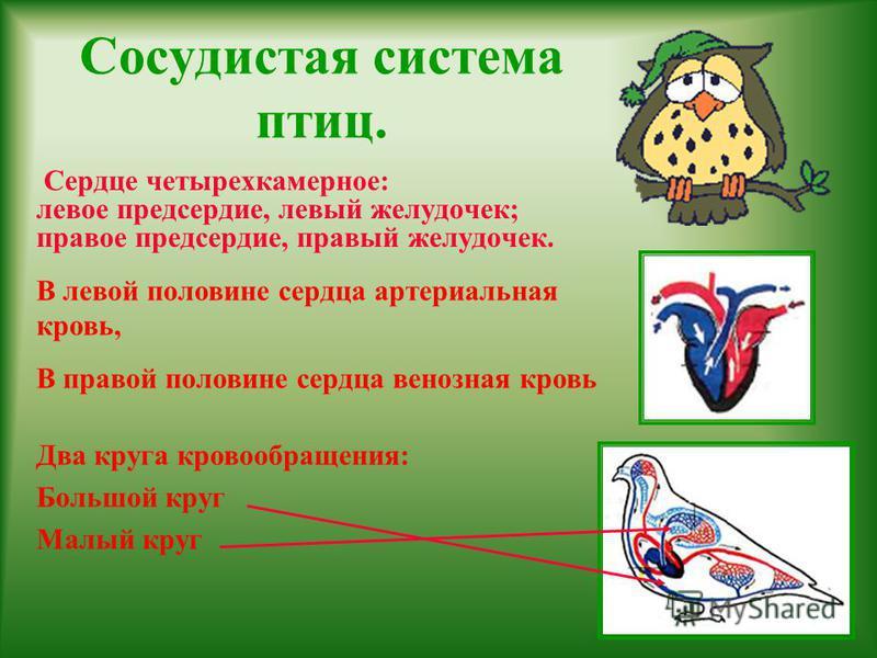 Сосудистая система птиц. Сердце четырехкамерное: левое предсердие, левый желудочек; правое предсердие, правый желудочек. В левой половине сердца артериальная кровь, В правой половине сердца венозная кровь Два круга кровообращения: Большой круг Малый