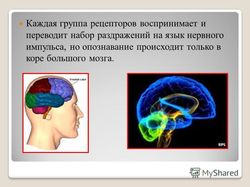 Каждая группа рецепторов воспринимает и переводит набор раздражений на язык нервного импульса, но опознавание происходит только в коре большого мозга.