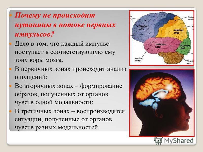 Почему не происходит путаницы в потоке нервных импульсов? Дело в том, что каждый импульс поступает в соответствующую ему зону коры мозга. В первичных зонах происходит анализ ощущений; Во вторичных зонах – формирование образов, полученных от органов ч