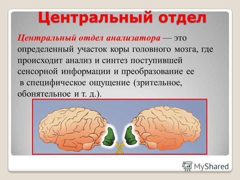 Центральный отдел Центральный отдел анализатора это определенный участок коры головного мозга, где происходит анализ и синтез поступившей сенсорной информации и преобразование ее в специфическое ощущение (зрительное, обонятельное и т. д.).