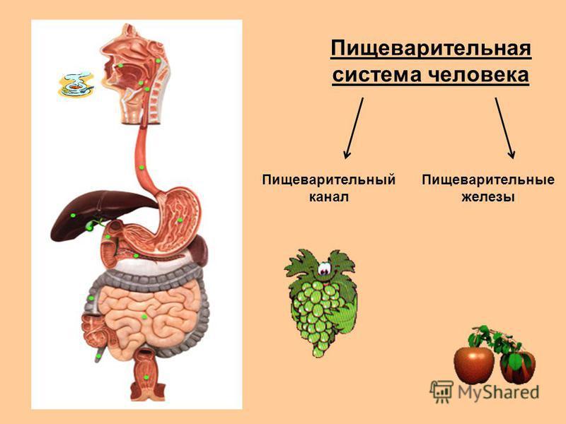 Пищеварительная система человека Пищеварительный канал Пищеварительные железы