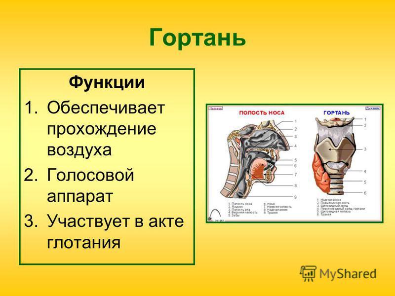 Гортань Функции 1. Обеспечивает прохождение воздуха 2. Голосовой аппарат 3. Участвует в акте глотания